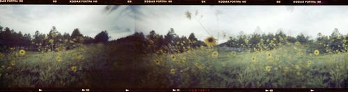 20160729195543-az_sunflowers-1