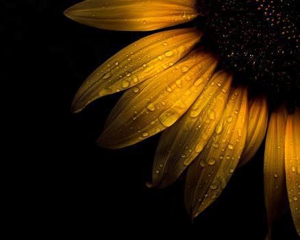 20160927121837-backyard_flowers_28_sunflower_4x5