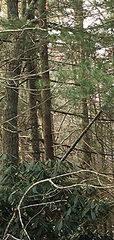 20170507162658-small_pine_tree__1_