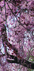 20170507162707-small_weeping_cherries