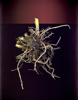 Root_ball