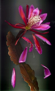 Orchid_cactus_red_flower