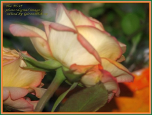 Img_1009the_rose_hsa09
