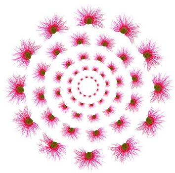 Gum_eucalyptus_circles