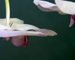 Debra_kayata_orchid_hanging_upside_down_5237a