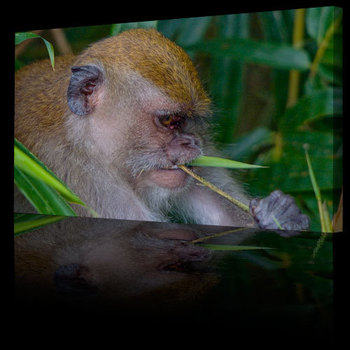 Animal_world_picture_macaque500b