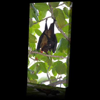 Animal_world_picture_fruit_bat500b