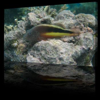 Sea_life_hawkfish500b