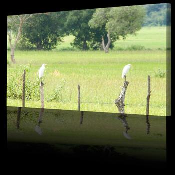 Landscape_pictures_egrets500b