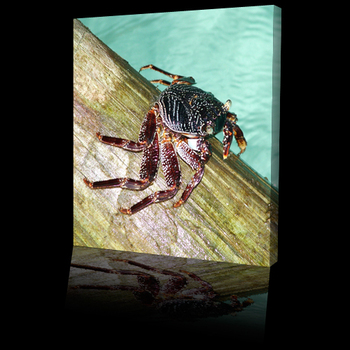 Sea_life_crabs500b