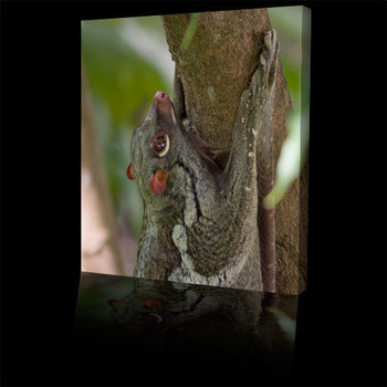 Rainforest_animals_colugo500b