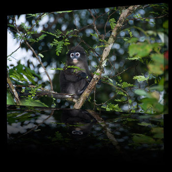 Rainforest_animals_dusky_monkey500b
