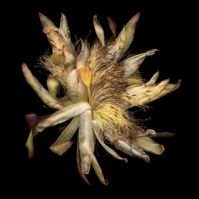 Cactus_blossom