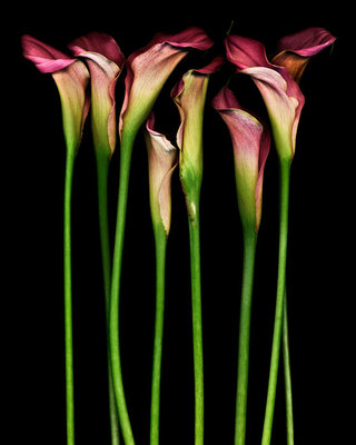 Eight_calla_lilies_1024w