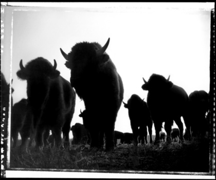The_rodeo_and_the_west_-_where_the_buffalo_roam