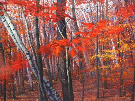 Stand_of_birches_sm