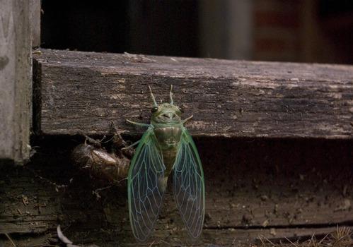 Cicada__1