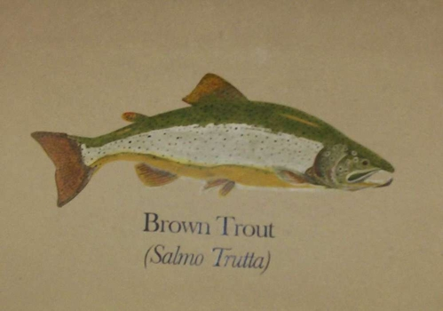 Brown_trout_on_concrete