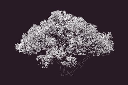 Shaw_s_magnolia