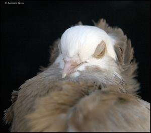 Pigeon_head_sleepy_028