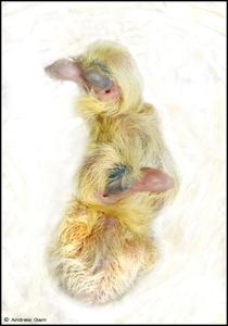 Garn_pigeon_newborns_3