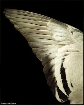 Garn_5_pigeon_wing_103