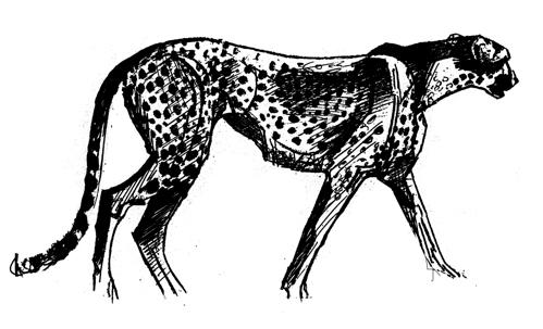 Cheetah_drawing