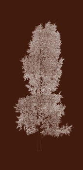 Brown_cottonwood