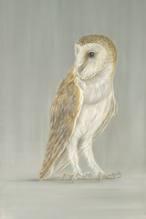 Barn_owl_on_grey_low_res