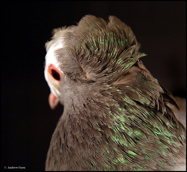 The_last_pigeon_invite_038