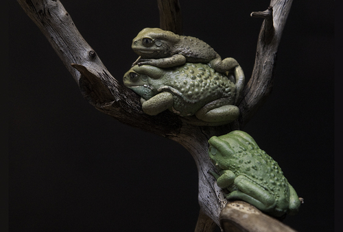 Grossman_lee_1treefrogs