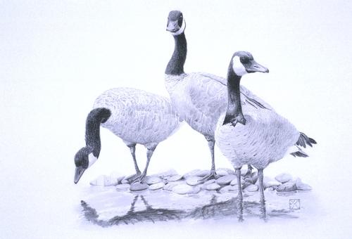 Canadas__geese