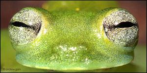 6-1_cochranella_midas_frog_eyes_05
