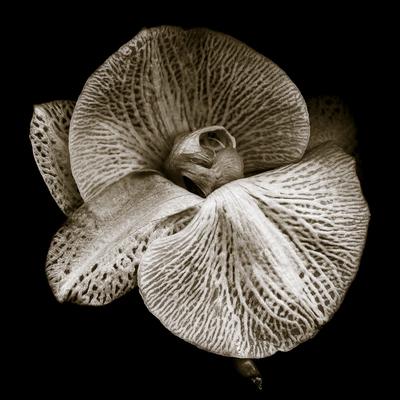 Phalaenopsis_2