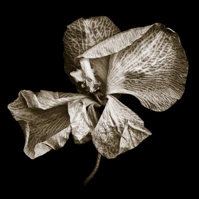 Phalaenopsis_1