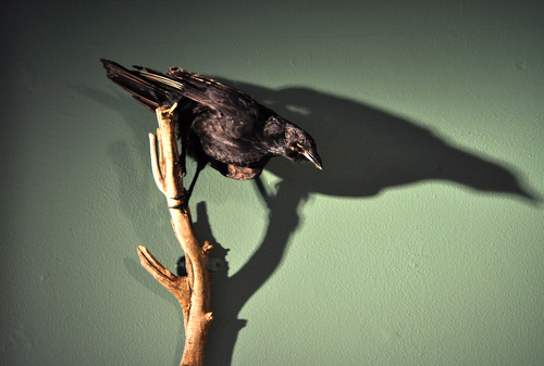 Naturemortecrow