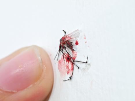 A_dead_mosquito