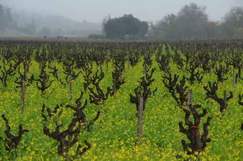 Napa_valley_vines