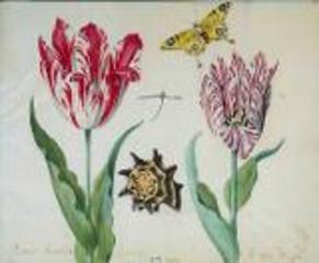 Jacob_marrel_twee_tulpen_een_vlinder_en_een_schelp_1637-1645