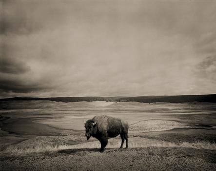11_buffalo