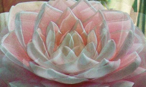 Pink_bloom_24hx40w