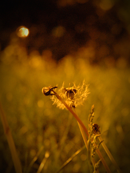 Nightlife_of_dandelions