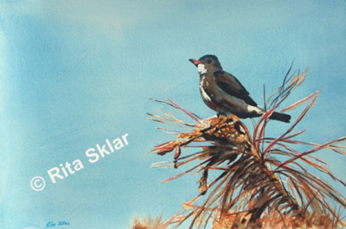Flickr_olive-sided_flycatcher