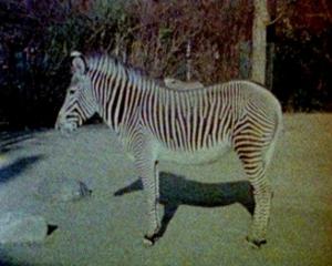 20991w_zebra3