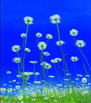 Ox_eye_daisies