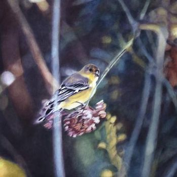 Goldfinch_v