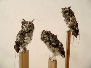 Screech_owl__c__a__b