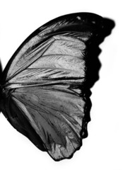 Mt_butterflywing05_lr
