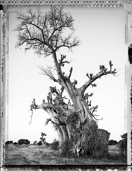 20100812105335-smp_elaine_ling_baobab_treeof_generations_mali