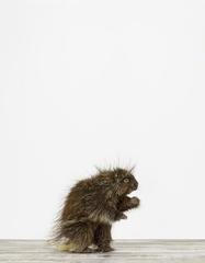 20100817120924-montrose_porcupine-01